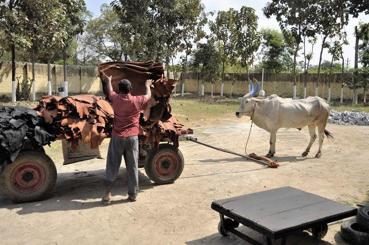 Leder-Transport mit dem Ochsenkarren